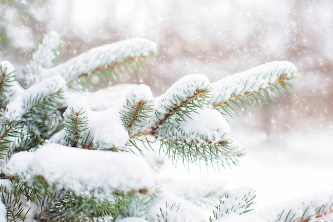 snow-in-pine-tree-1265119